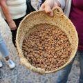 Nuestra guía muestra durante la visita al Museo de la Horchata un cesto de mimbre con chufa para conocer el producto a partir del cuál se elabora la horchata en Valencia.